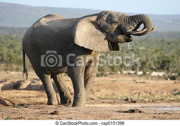drinkt, elefant, afrikaan, stier - csp5151398