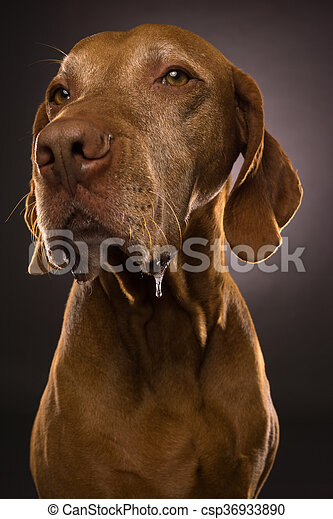drooling hungarian vizsla closeup portrait - csp36933890