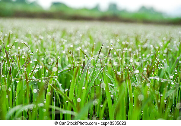drops of dew on a green grass (background) - csp48305623