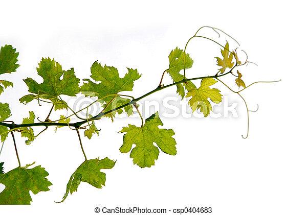 druif wijngaard - csp0404683