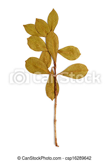 dry branch with leaves on white background - csp16289642