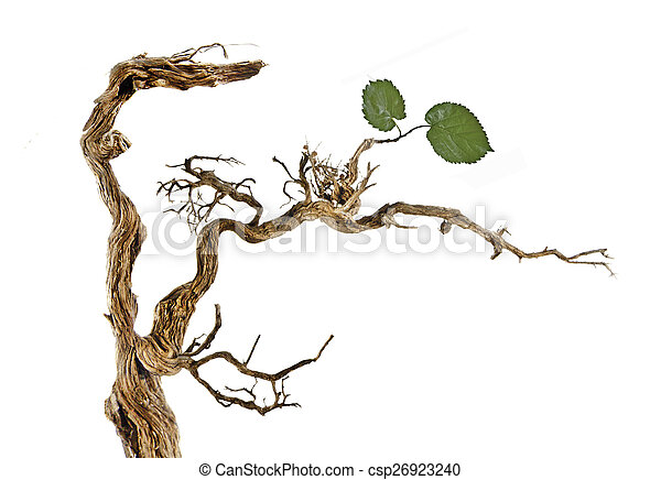 Dry branch with leaves - csp26923240
