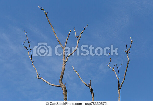 dry branches of tree against blue sky - csp78330572