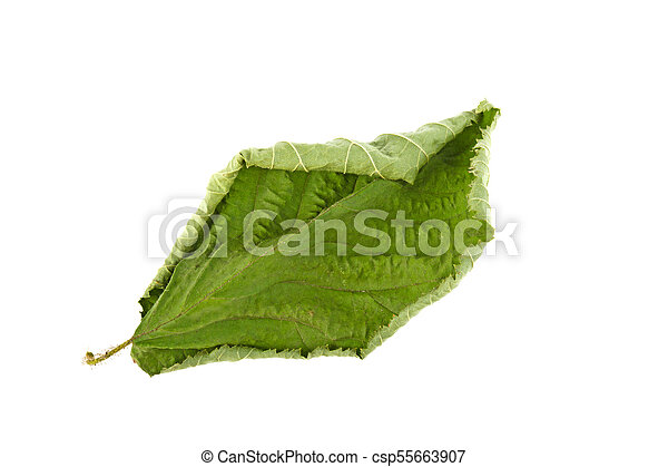 dry green leaf on a white background - csp55663907