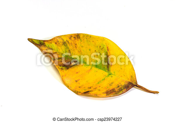 dry leaf on the white background - csp23974227