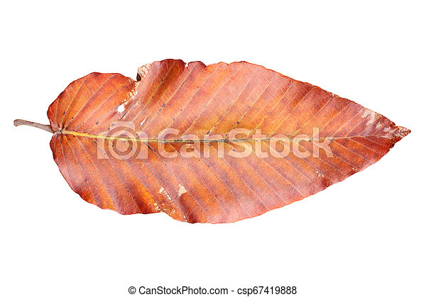 dry leaves isolated on white background - csp67419888