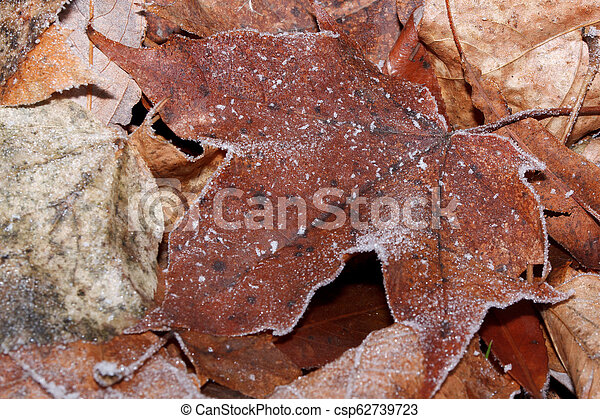 Dry maple leaf covered with hoarfrost. Close up. - csp62739723