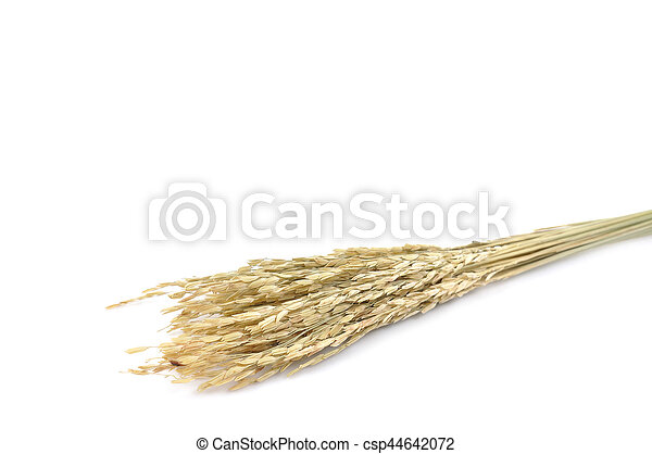 Dry paddy rice on white background. - csp44642072