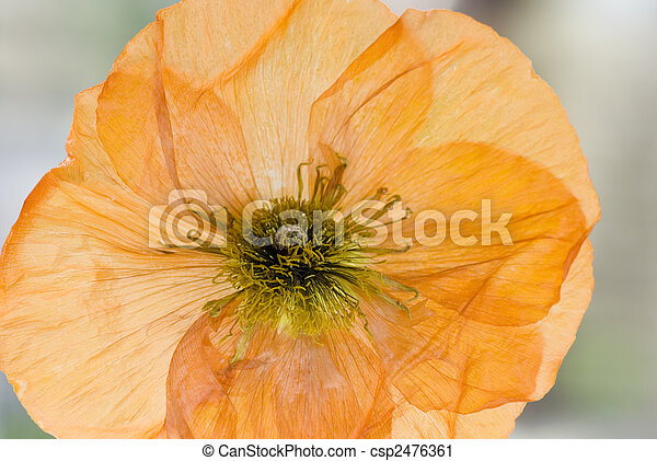 Close up of dry poppy flower stock photography search pictures and dry poppy flower csp2476361 mightylinksfo