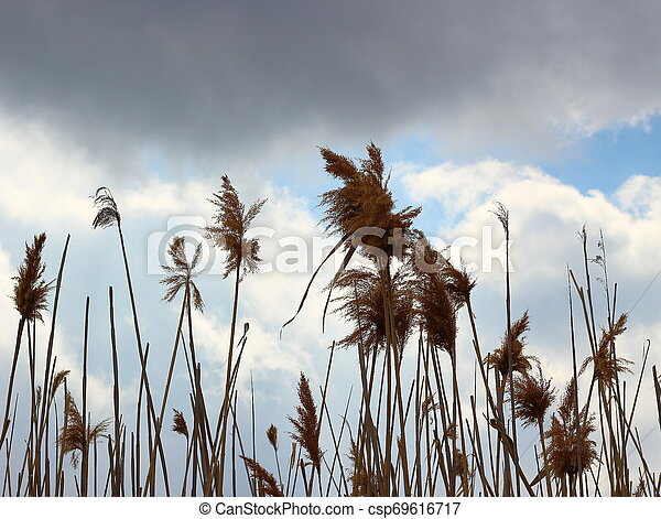 Dry reed on the sky background - csp69616717