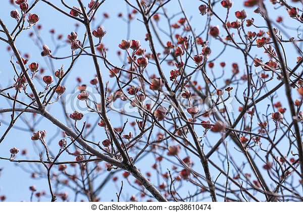 Dry Twigs Of Cherry Blossoms Tree With Blue Sky Background