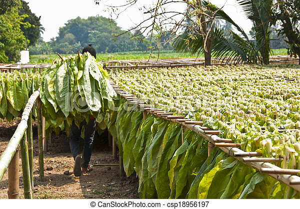 Drying tobacco leaves. - csp18956197