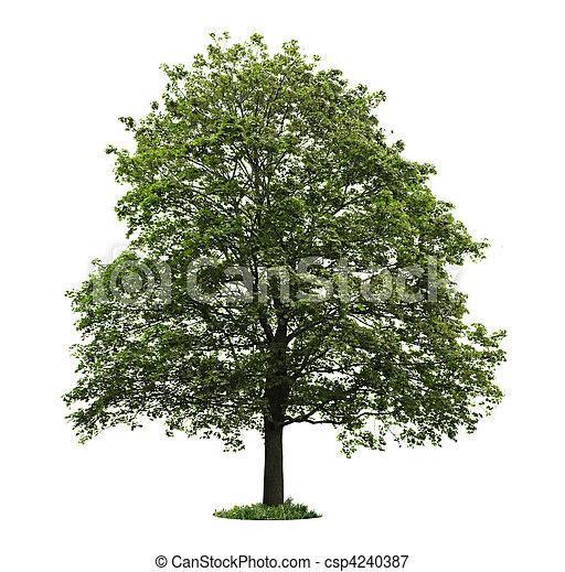 drzewo, odizolowany, klon, dojrzały - csp4240387