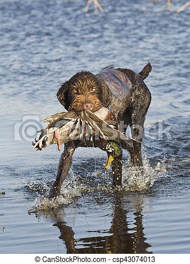 Duck Hunting Dog - csp43074013
