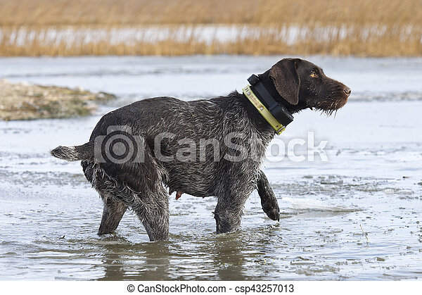 Duck Hunting dog - csp43257013