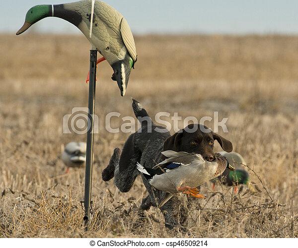 Duck Hunting Dog - csp46509214