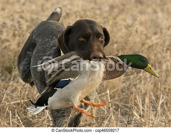 Duck Hunting Dog - csp46509217