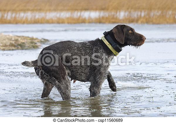 Duck Hunting Dog - csp11560689
