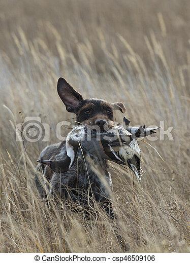 Duck Hunting Dog - csp46509106