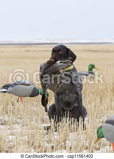 Duck Hunting - csp11561403