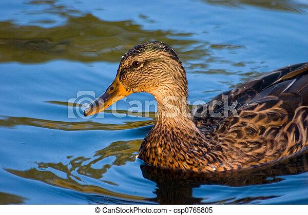 Duck in blue water - csp0765805