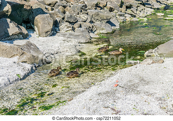 Duck In Clear Stream 2 - csp72211052