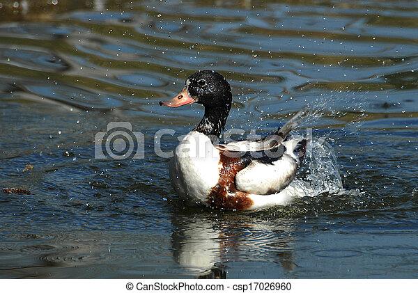 Duck in the water - csp17026960