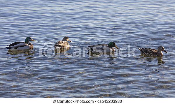 duck on lake - csp43203930