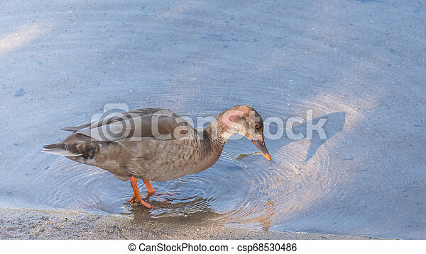 duck on the shore of a river - csp68530486