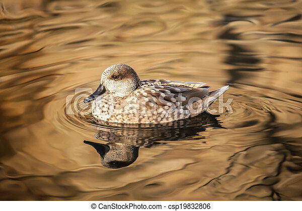 Duck on the Water Photo - csp19832806