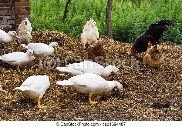 ducks and chicken - csp1694487