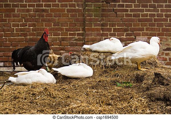 ducks and chicken - csp1694500
