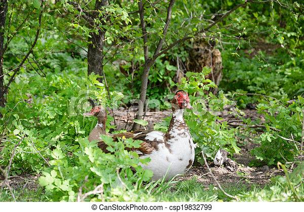 Ducks in the bushes. - csp19832799