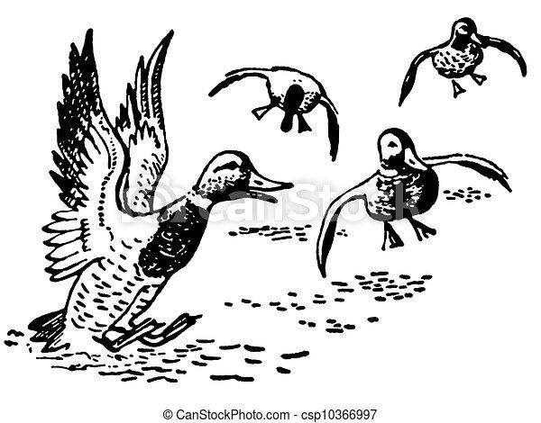 Ducks Landing In Pond