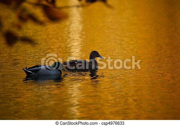 Ducks On A Golden Pond - csp4976633
