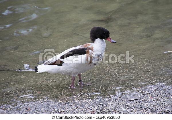 ducks on lake - csp40953850