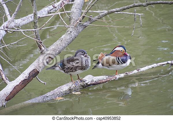 ducks on lake - csp40953852
