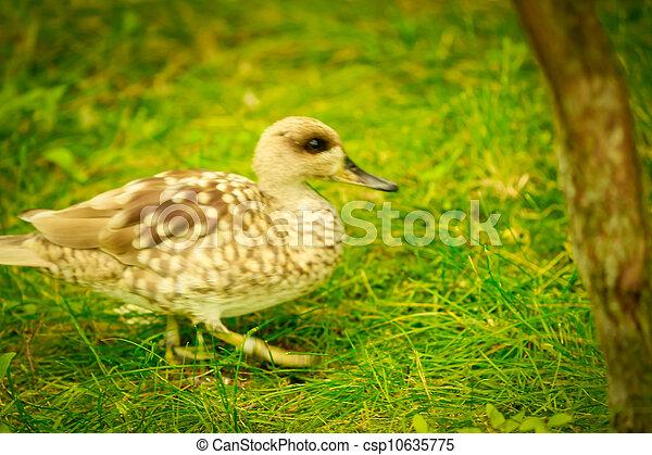 ducks - csp10635775