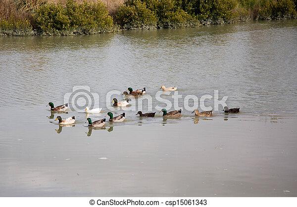 Ducks - csp15061343