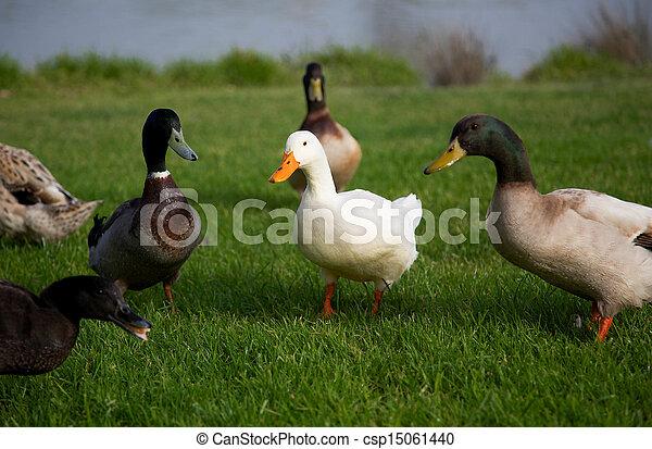 Ducks - csp15061440
