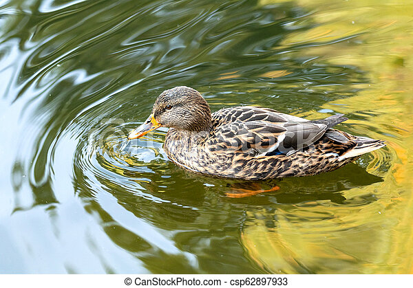 Ducks swimming in the city park lake. Beautiful sunny autumn day - csp62897933