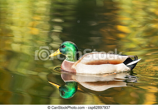 Ducks swimming in the city park lake. Beautiful sunny autumn day - csp62897937