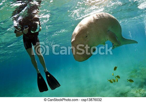 dugong, snorkeller - csp13876032