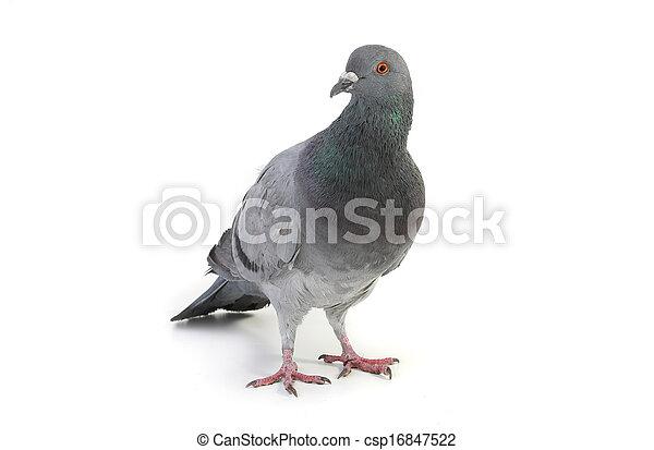 duif, grijs - csp16847522