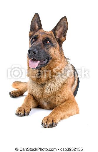 duitse herdershond, dog - csp3952155