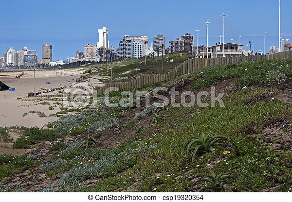 dune rehabilitation of Durban beachfront with buildings in background - csp19320354