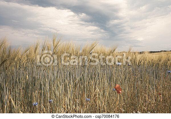 Dunkle Gewitterwolken ziehen ?ber gr?ne Felder und Routine Mohnsamen im Hintergrund - csp70084176