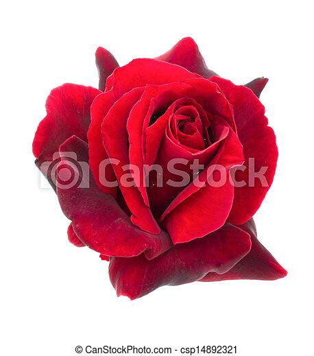 Dunkle rote Rose auf weißem Hintergrund - csp14892321