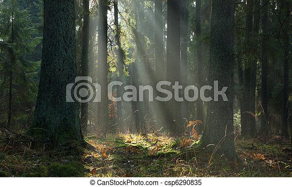 Nebel im Herbst koniferöse Stand des Waldes von Bialowieza bei Sonnenaufgang - csp6290835