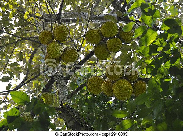 Durian Tree